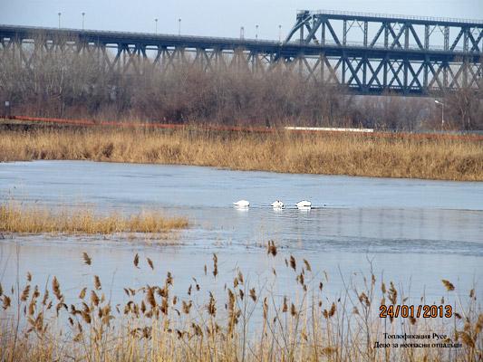 Пойни лебеди харесаха сгуроотвала на «Топлофикация Русе» за зимуване